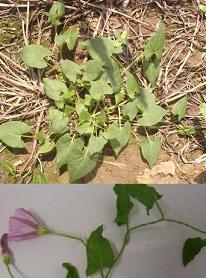 liseron des champs convolvulus arvensis convolvulacees herbier systematique des plantes. Black Bedroom Furniture Sets. Home Design Ideas